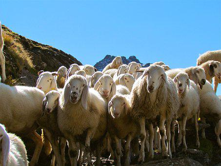 Sheep, Herd, Flock, Animal, Group, Livestock, Ovis