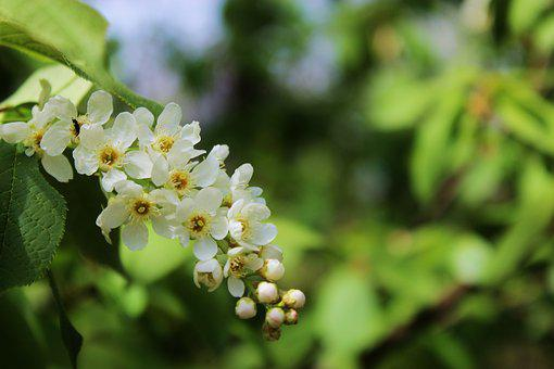 Flowering, Blooms, Apple Flower, Apple, White Flowers