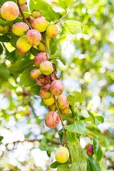 Apples, Apple, Green, Fruits, Fruit, Food, Healthy