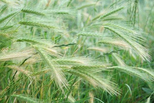 Barley, Cornfield, Cereals, Plant, Barley Feed, Arable