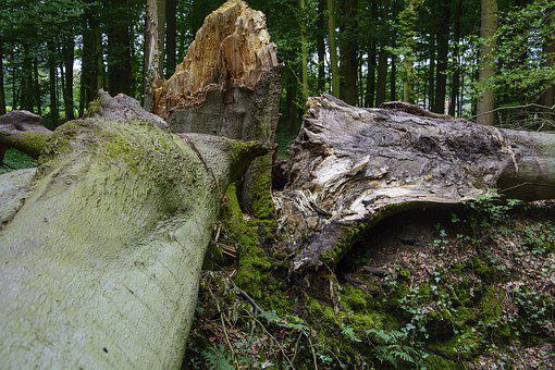 Beech, Storm Damage, Forest, Devastation, Forward