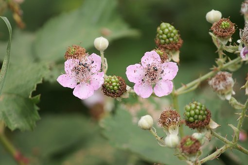 Blackberries, Blackberry, Bramble, Rubus, Bloom