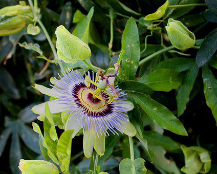 Passion Flower, Flower, Blossom, Floral, Bloom, Nature