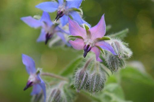 Borage, Flowers, Borretschblüte, Flower, Blue Blossom
