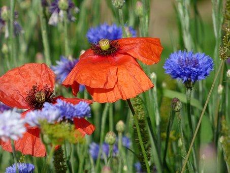 Flowers, Poppies, Blueberries, Field, Fields, Nature