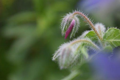 Borage, Bud, Borretschblüte, Flower, Wild Herbs