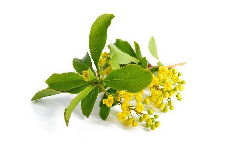 Barberry, Yellow Flowers, Branch, Green Leaves, Nature