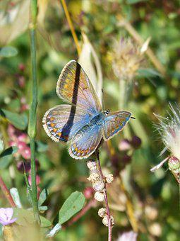 Butterfly, Blue Butterfly And Orange, Aricia Cramera