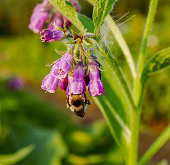 True Comfrey, Common Comfrey, Comfrey, Plant, Flower