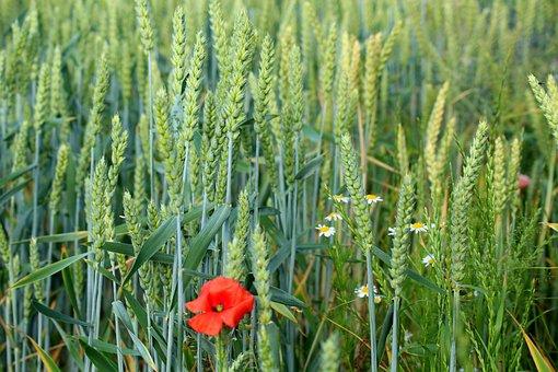Corn, Wheat, Wildflowers, Field, Plants, Spring, Nature