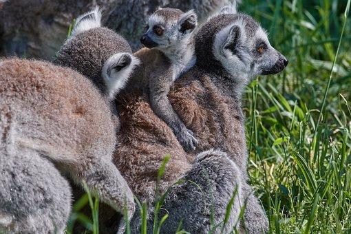 Ape, Lemur, Family, Young Animals, Cute, Primates