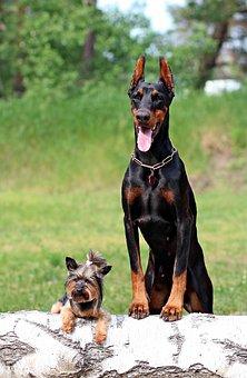 Doberman, Yorkshire Terrier, Dogs, Friendship
