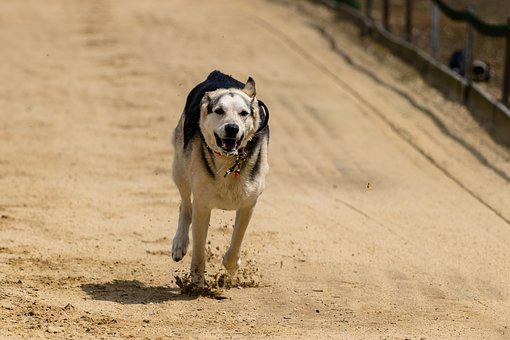 Dog, Runs, Dog Racing, Dog Runs, Wildlife Photography