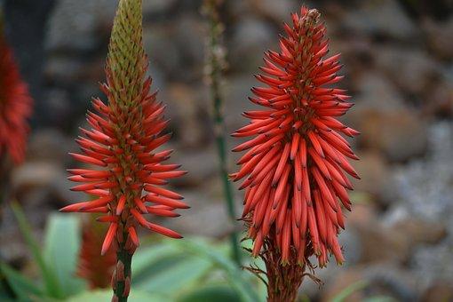 Plant, Aloe, Drought-resistant, South African Flora