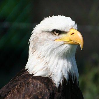 Eagle, Bird Of Prey, Head, Close Up