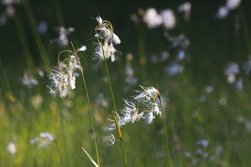 Cotton Grass, Eriophorum, Plant, Sour Grass Greenhouse