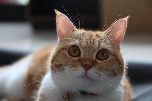 Ears, Kitten, Cat, Eyes, Face, Animal, Cute