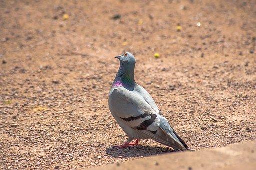Bird, Dove, Feather, Eye, Bill