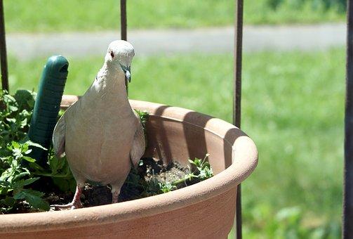 Dove, Flower Pot, Bird, Pen, Nature Dove, Nature