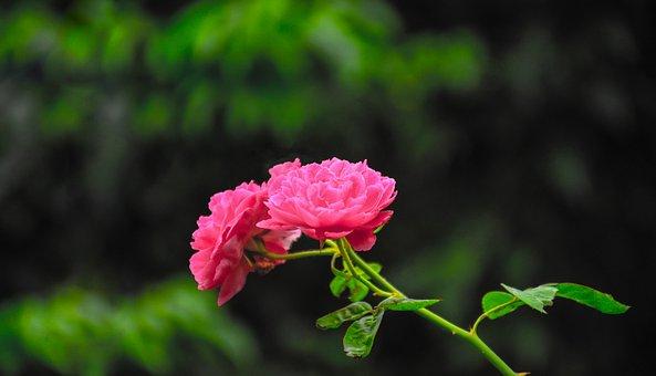 Rose, Pink Rose, Pink, Red, Red Rose, Flower, Nature