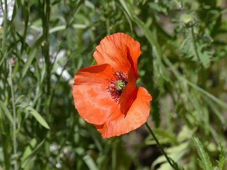 Mack, Flower, Red Poppy, Flowers Of The Field, Summer