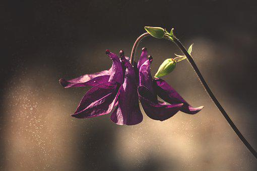 Columbine, Violet, Purple, Purple Columbine, Flower