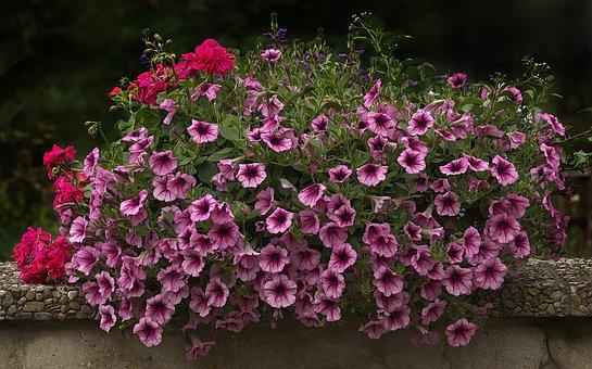 Flowers, Flower Box, Balcony Plants, Petunia, Geranium