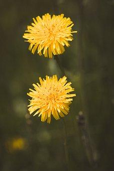 Dandelion, Flowers, Dandelion Flowers