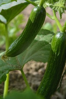 Cucumber, Cucumbers, Vegetables, Fresh, Healthy