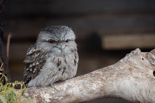 Tawny Frogmouth, Chick, Frogmouth, Bird, Australian