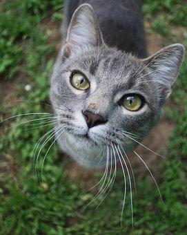 Cat, Feline, Grey, Pet, Animal, Domestic, Mammal, Fur