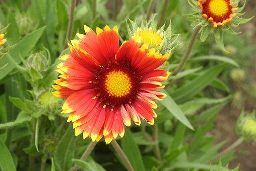 Gailardia, Plant A Garden, Plant, Flower, Nature