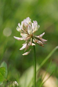 Clover Flower, Wild, Clover, Field, Garden, White