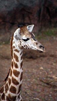 Giraffe, Young, Neck, Baby Giraffe, Zoo, Close Up