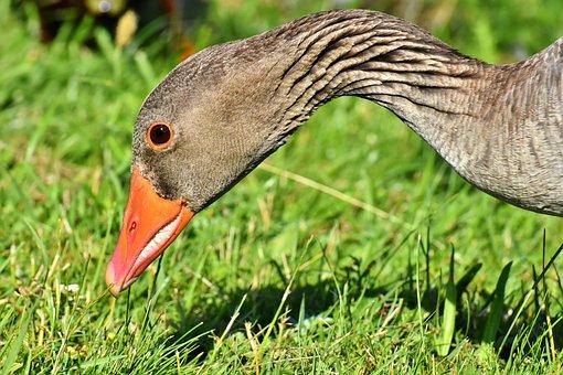Goose, Wild Goose, Water Bird, Rump, Go, Feet, Funny