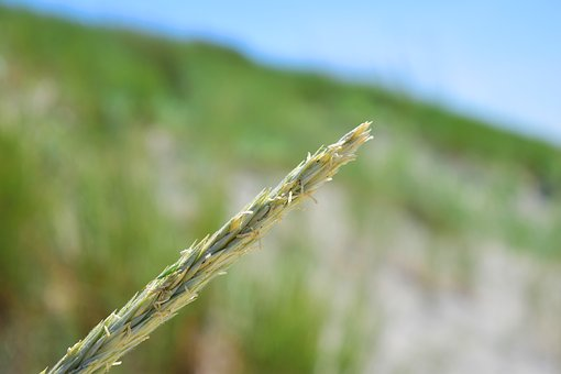 Sedge, Ear, Reed, Grasses, Wind, Nature, Plant, Natural