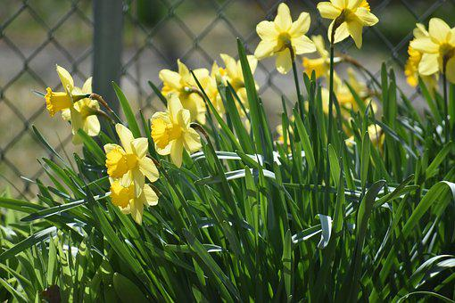 Daffodil, Flower, Yellow, Spring, Green, Nature, Floral