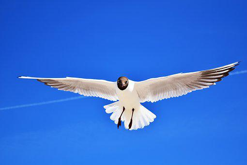 Seagull, Bird, Glide, Plumage, Approach, In Flight, Fly