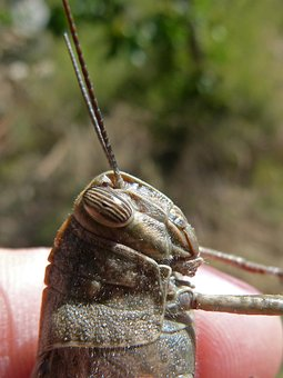 Grasshopper, Compound Eye, Insect Eye, Lobster