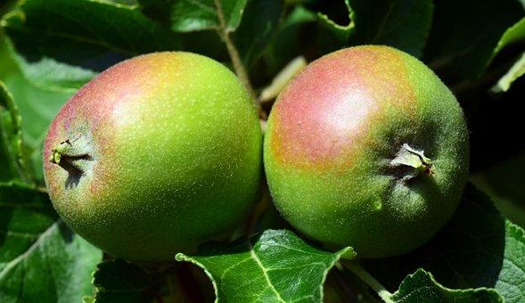 Apple, Green, Fruit, Apple Tree, Kernobstgewaechs