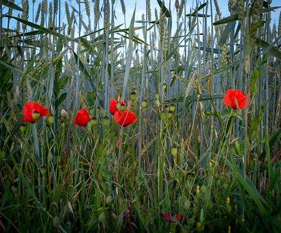 Klatschmohn, Cornflowers, Field, Meadow, Cereals, Red