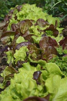 Lettuce, Salad, Eat, Frisch, Healthy, Vitamins