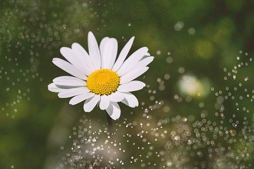 Marguerite, Flower, White, Blossom, Bloom