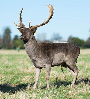 Deer, Phoenix, Park, Landscape, Nature, Ireland, Dublin