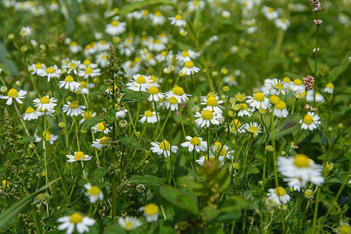 Chamomile, Flower, Blossom, Bloom, Nature, Plant, Bloom