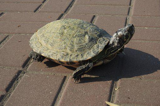 Turtle, Shell, Nature, Animal, Reptiles, Armor