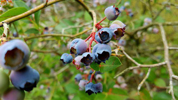 Blueberry, Fruit, Grow, Mature, Healthy, Nibble, Berry