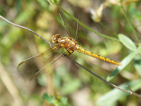 Dragonfly, Winged Insect, Orthetrum Chrysostigma