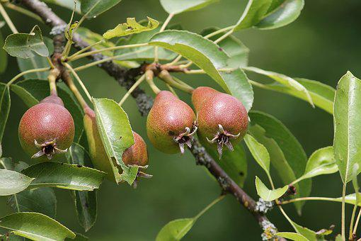 Pears, Pyrus, Young, Immature, Depend, Pear, Fruit