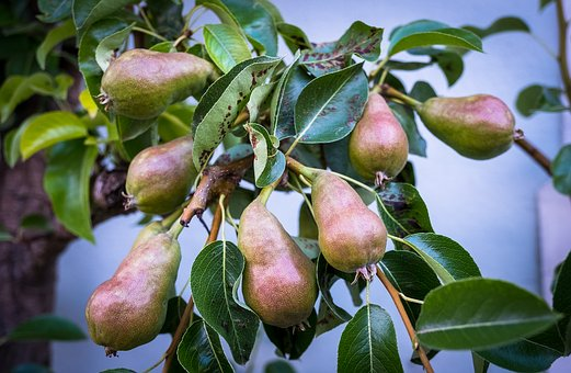Pears, Tree Shrub, Garden, Growth, Tree, Bush, Fruit